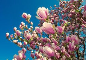 blooming magnolia tree in april isolated on blue sky background